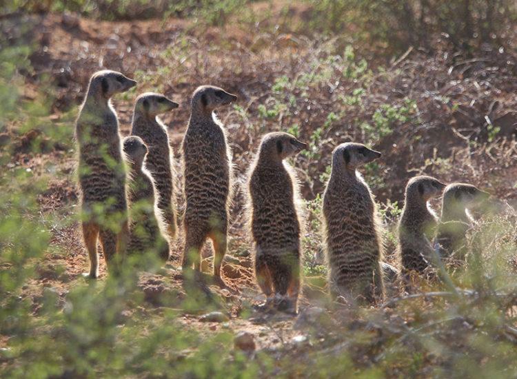 Buffelsdrift Game Lodge Meerkat Safari