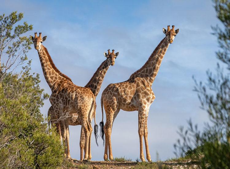 Game Drives - Giraffes